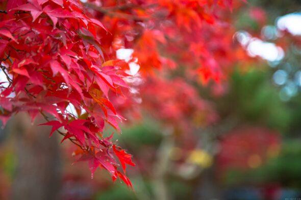 毛利庭園の紅葉2016③