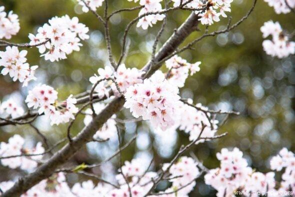 毛利庭園の桜2017③