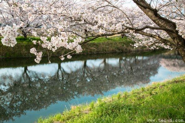 末武川の桜2017②