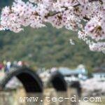 2018年春 sakura②