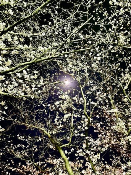 東川緑地公園の夜桜
