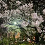 周南市東川緑地公園の夜桜②