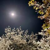 周南市東川緑地公園の夜桜④